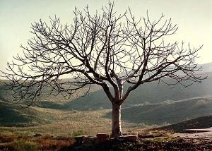 barrenfigtree